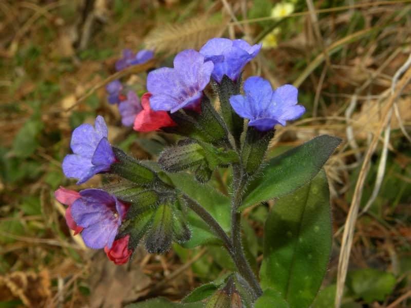 plamanarica planta medicinala