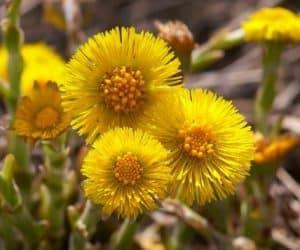 podbalul flori de primavara beneficii