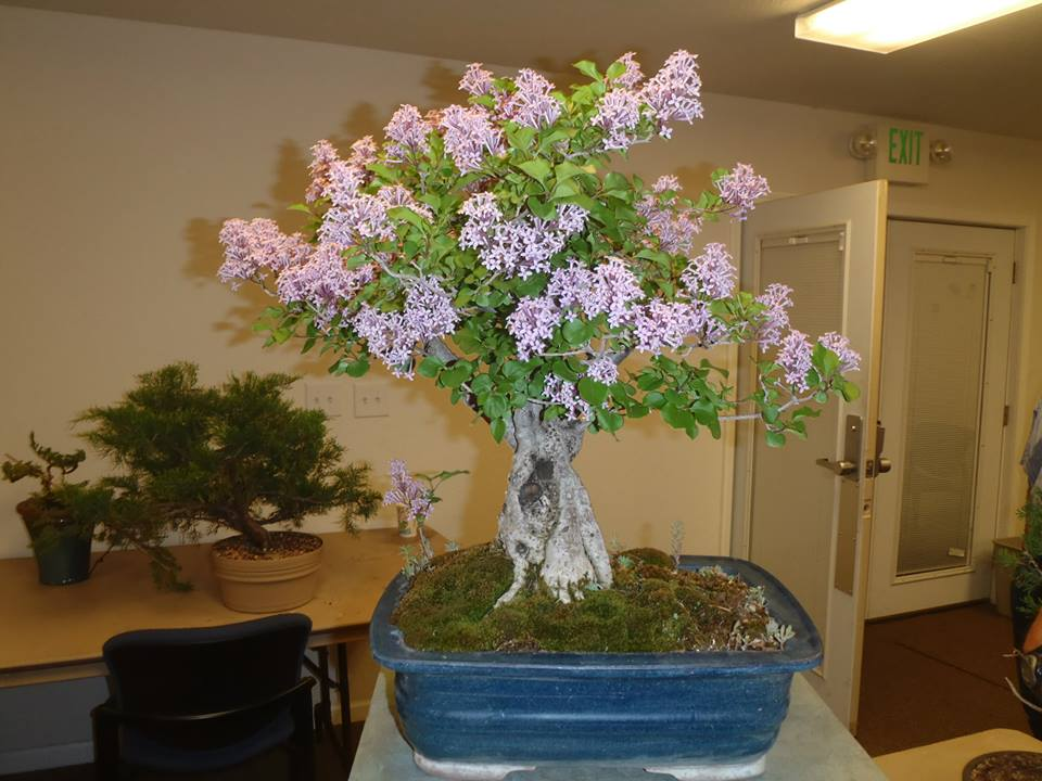 Syringa vulgaris - liliac bonsai