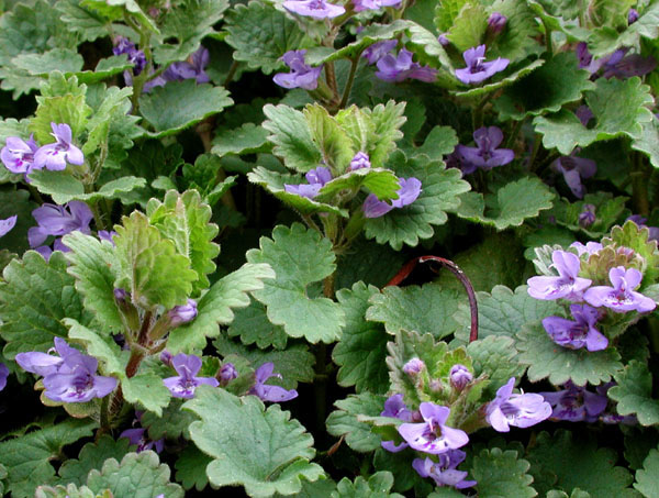 rotungioara planta medicinala sau silnic