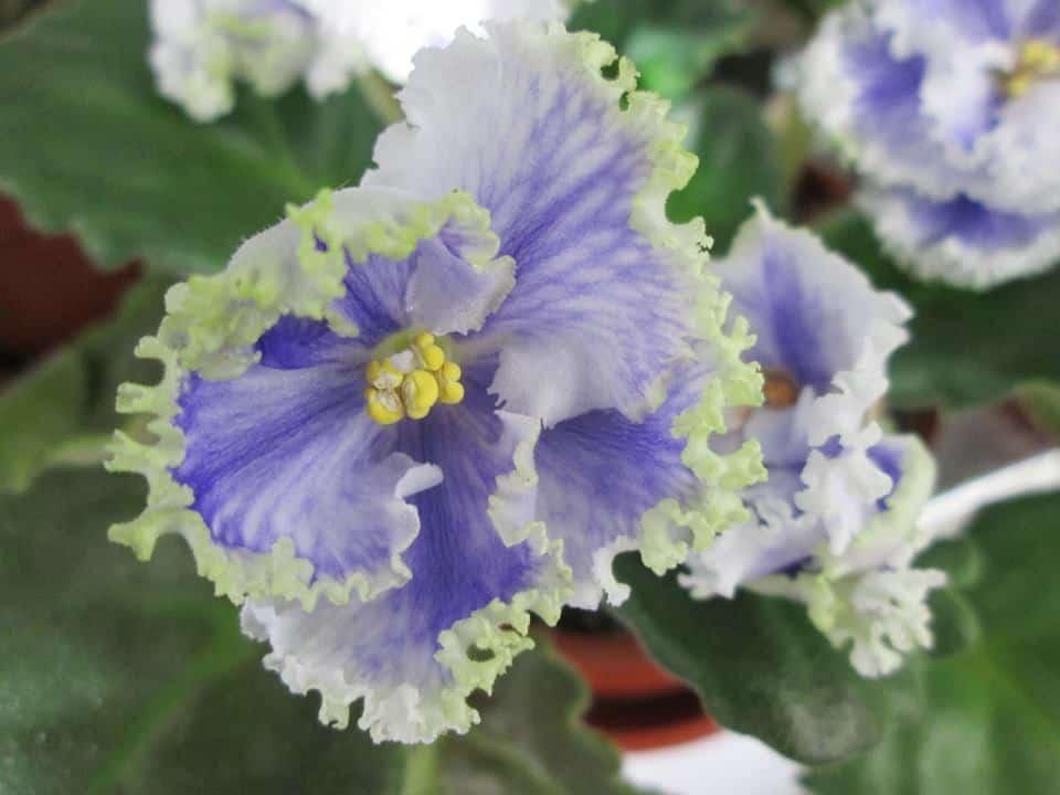 violete africane saintpaulia Kei yoki