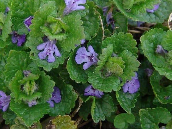 silnic sau rotungioara planta medicinala
