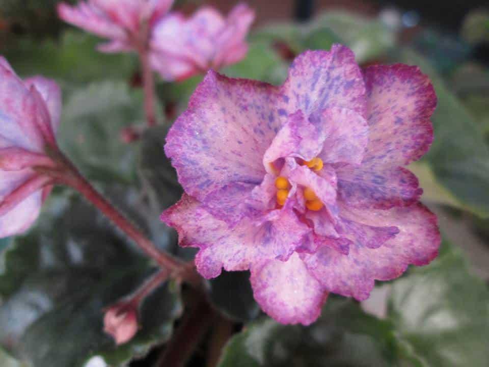 violeta africana sau violeta de parma