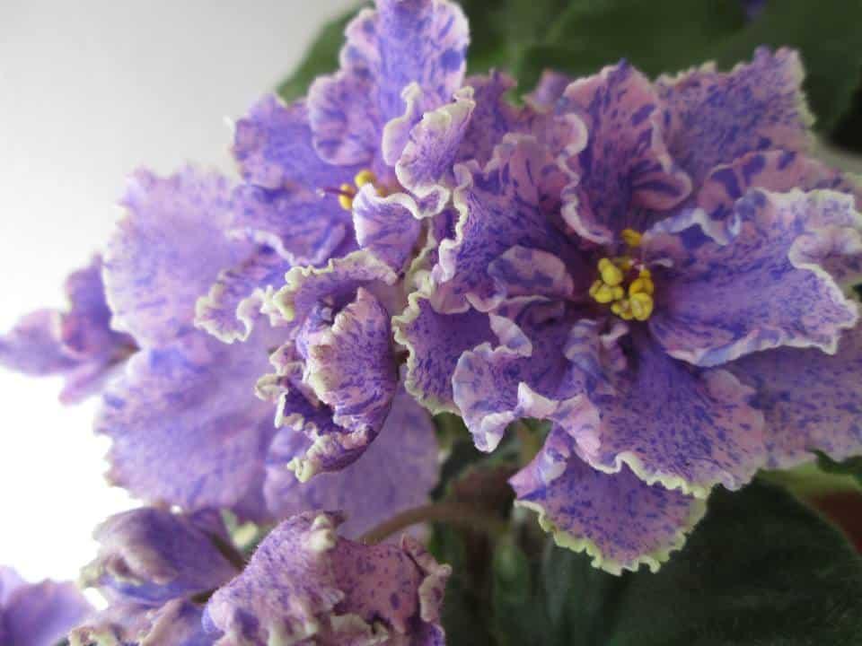 violeta fitoasa Victorian Flirt sport