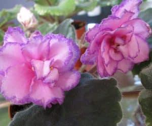 violete africane Luminescene