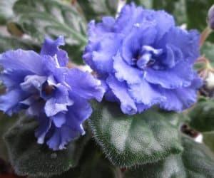 violete africane albastre