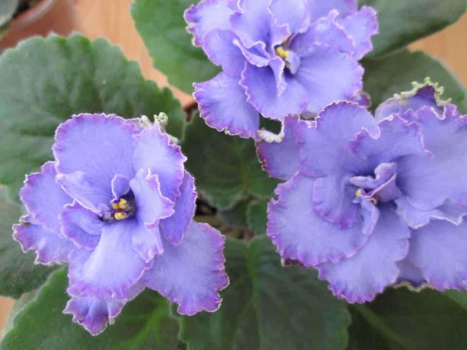 violete africane blue dragon