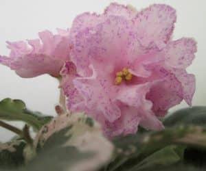 violete africane cherry bomb
