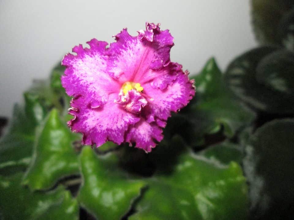 violete africane fitoase