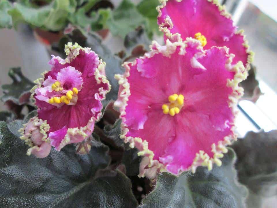 violete africane golden rubies