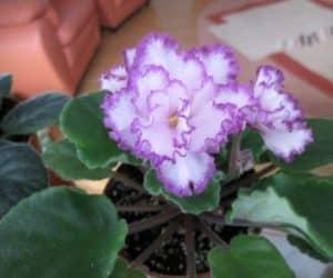 violete africane ian Menuet