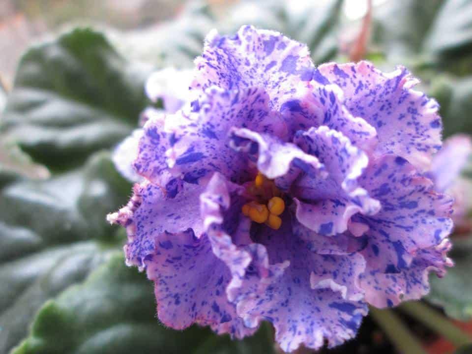 violete africane le mozaica