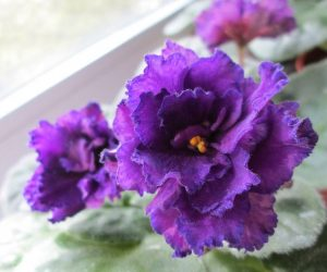 violete africane purple passion