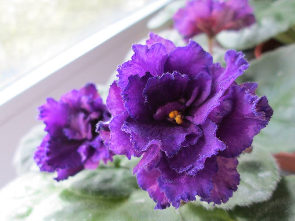violete africane purple passion