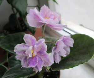 violete africane rainy day lovin
