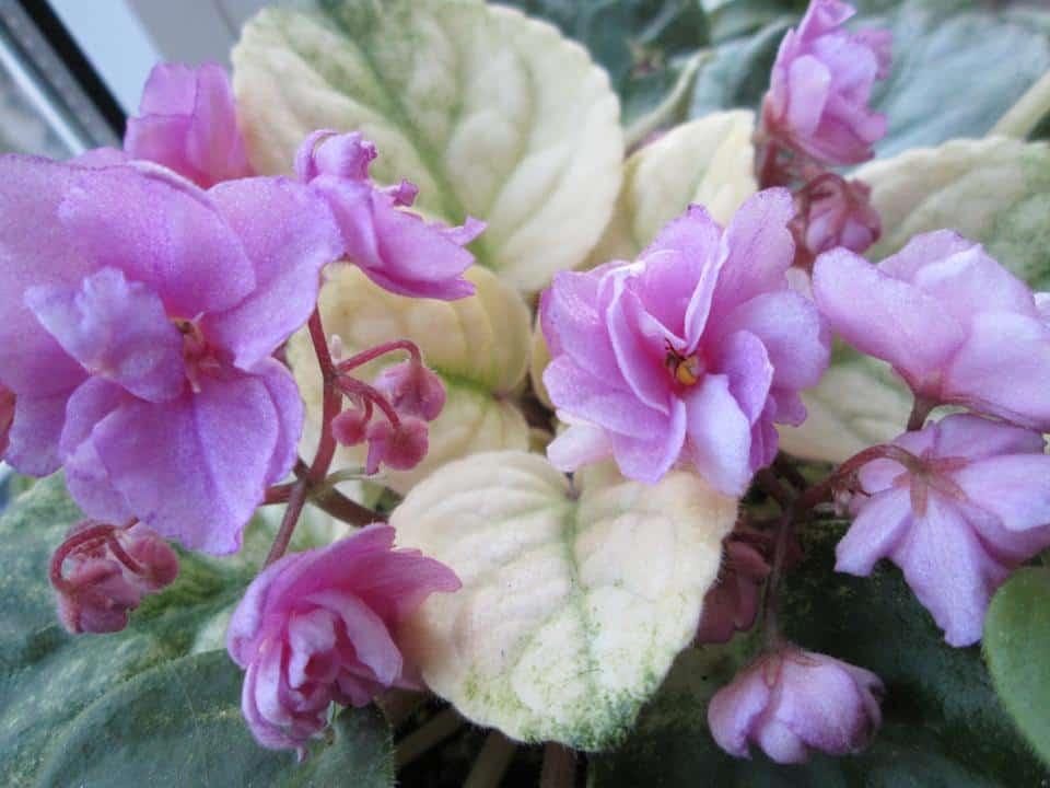 violete africane roz Candy Fountaine