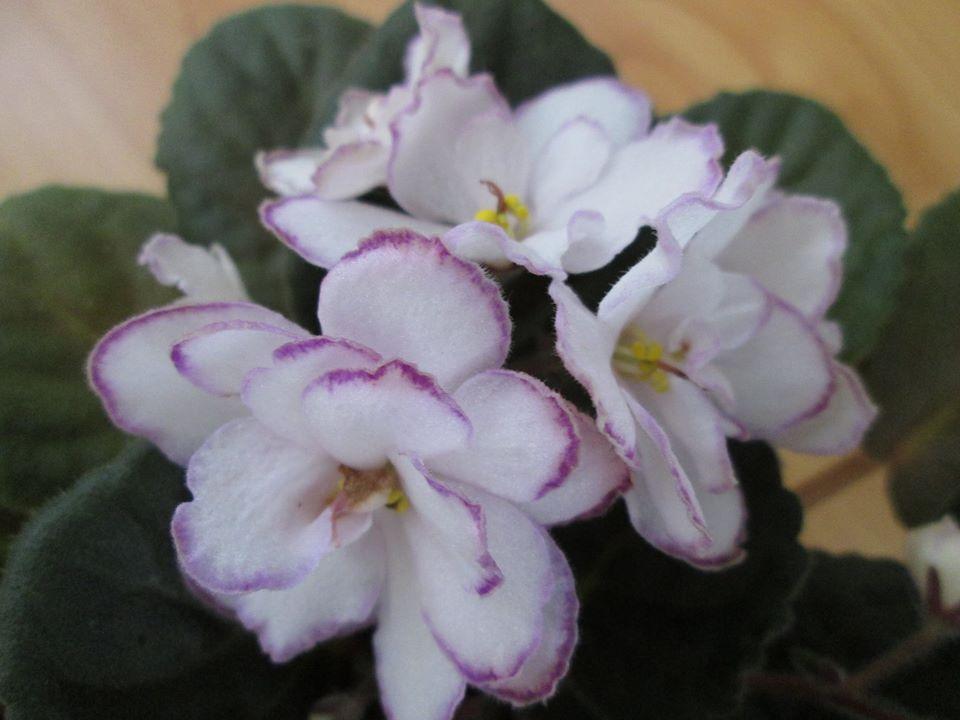 violete aricane Two-w Miss Sophie