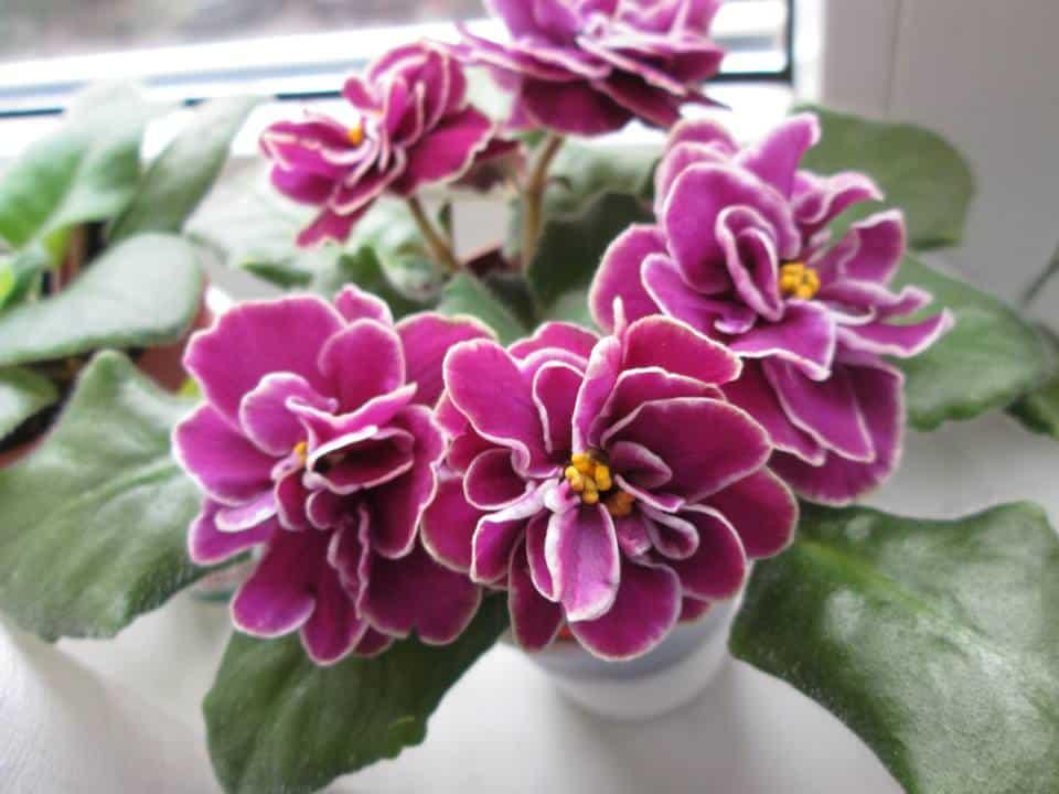 violete de parma Ek-Magija Liubvi