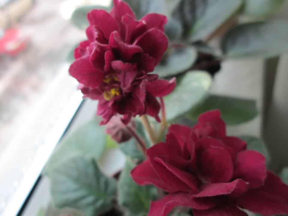 violete de parma Ek-Sadi Semiramidi