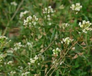 Traista ciobanului planta medicinala se culege in aprilie mai