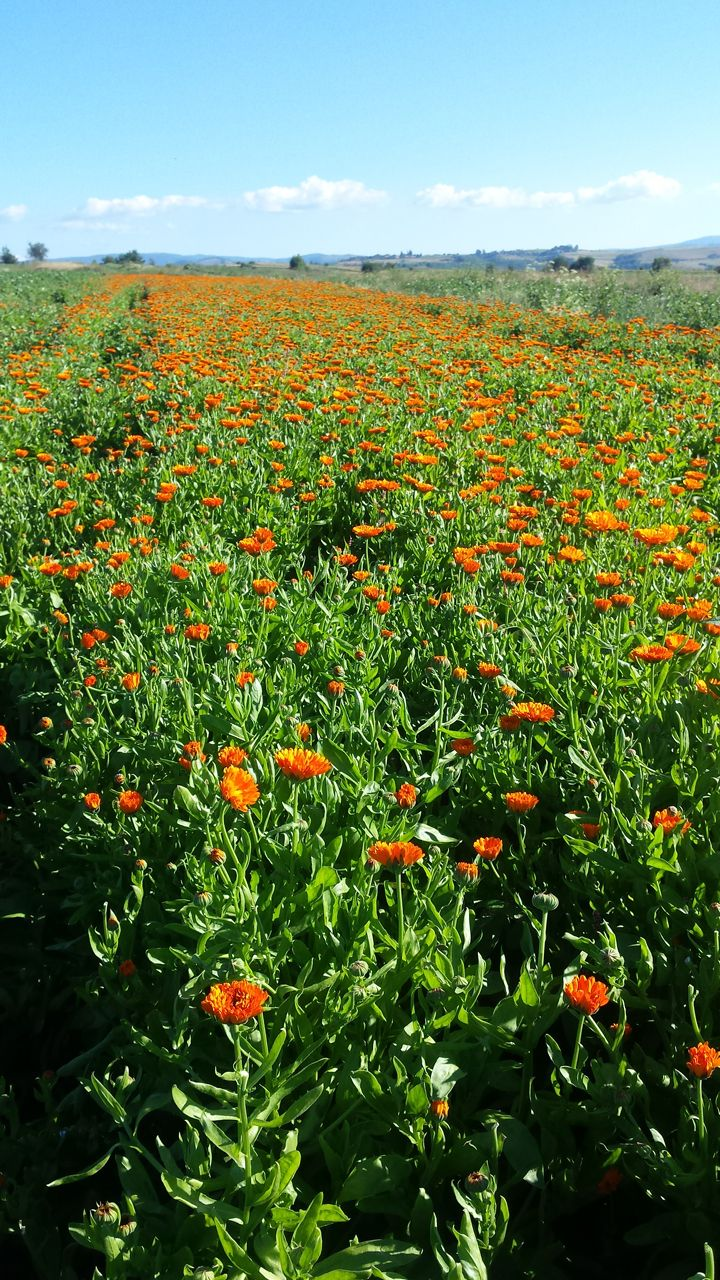 flori de galbenele si ceaiul de galbenele - beneficii pentru sanatate