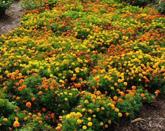 craitele - flori minunate din gradina