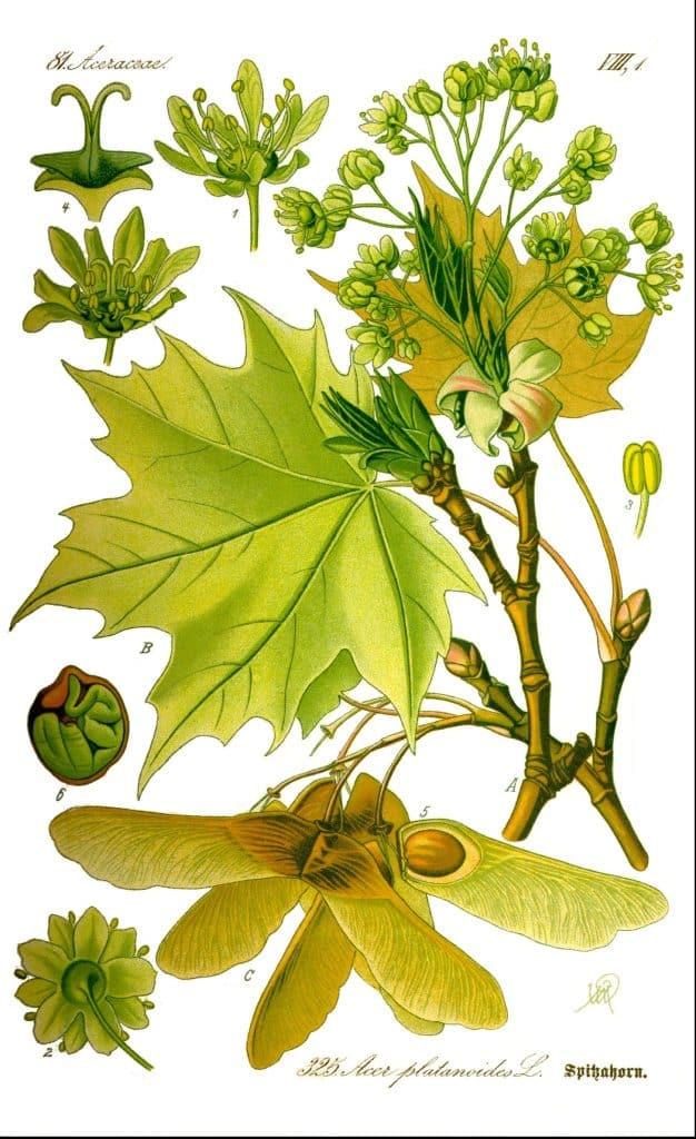 paltinul copac beneficii pentru sanatate