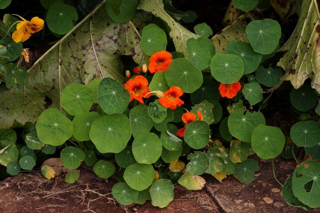 Condurul doamnei sau conduras plante salbatice comestibile