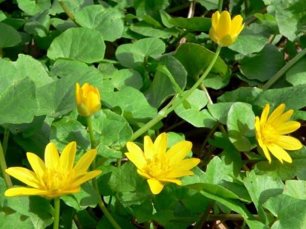 Plante comestibile grausor ranunculus ficaria