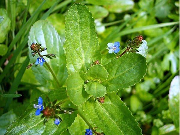 Plante salbatice comestibile bobornic veronica beccabunga