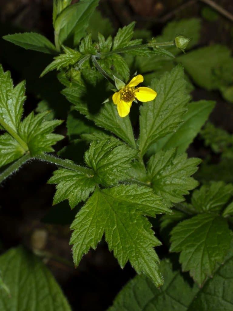 Plante salbatice comestibile cerentel