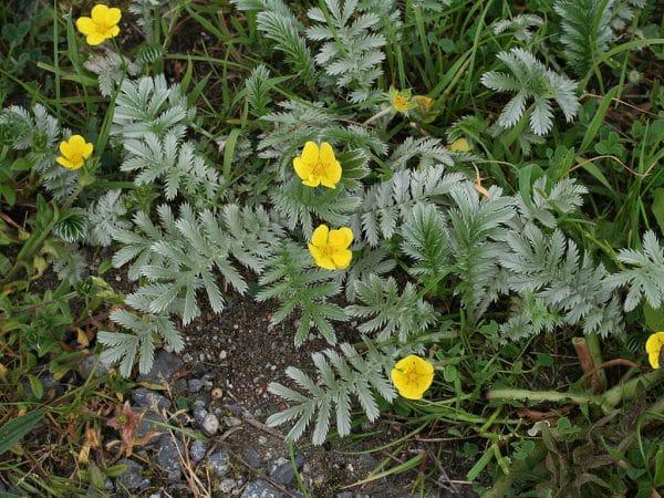 Plante salbatice comestibile coada racului