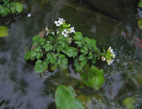 Plante salbatice comestibile macrisul de balta