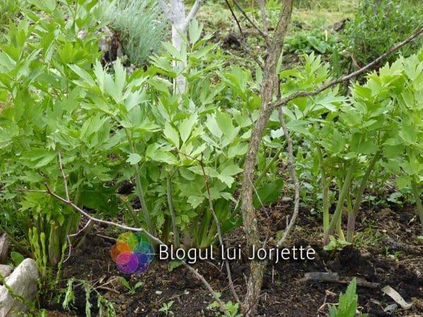 Leusteanul planta medicinala aromata - frunze de leustean