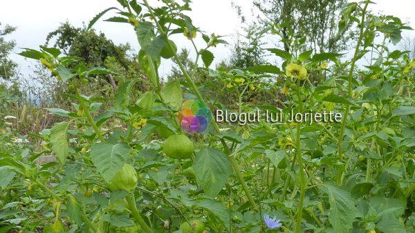 Planta de tomatillo verde cu fruct si floare