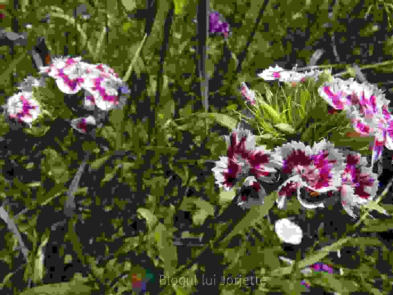 Garofite colorate