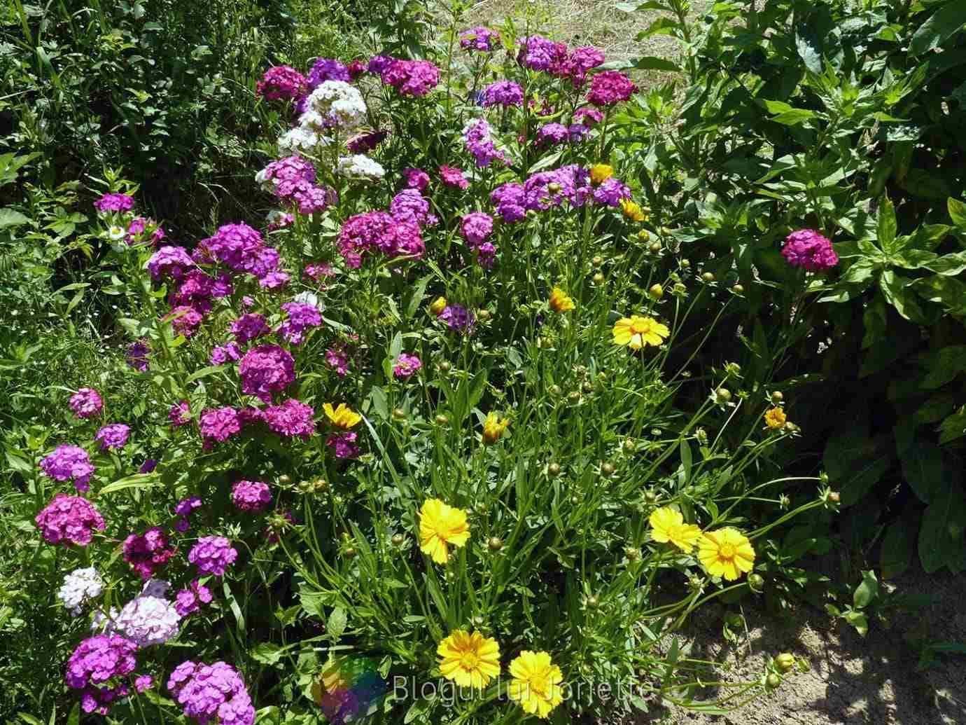 Garofite si alte flori