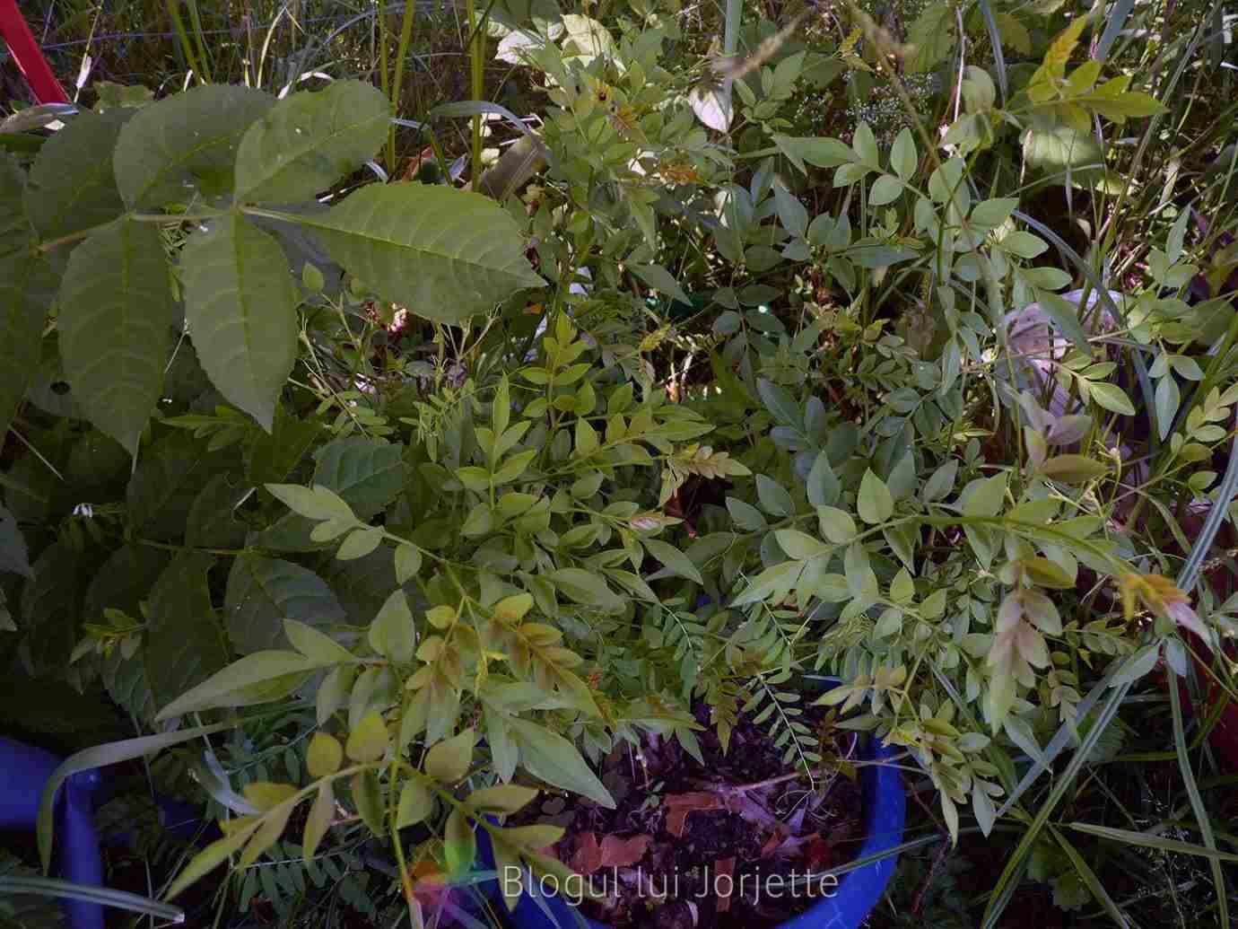 Iasomie jasminum officinalis