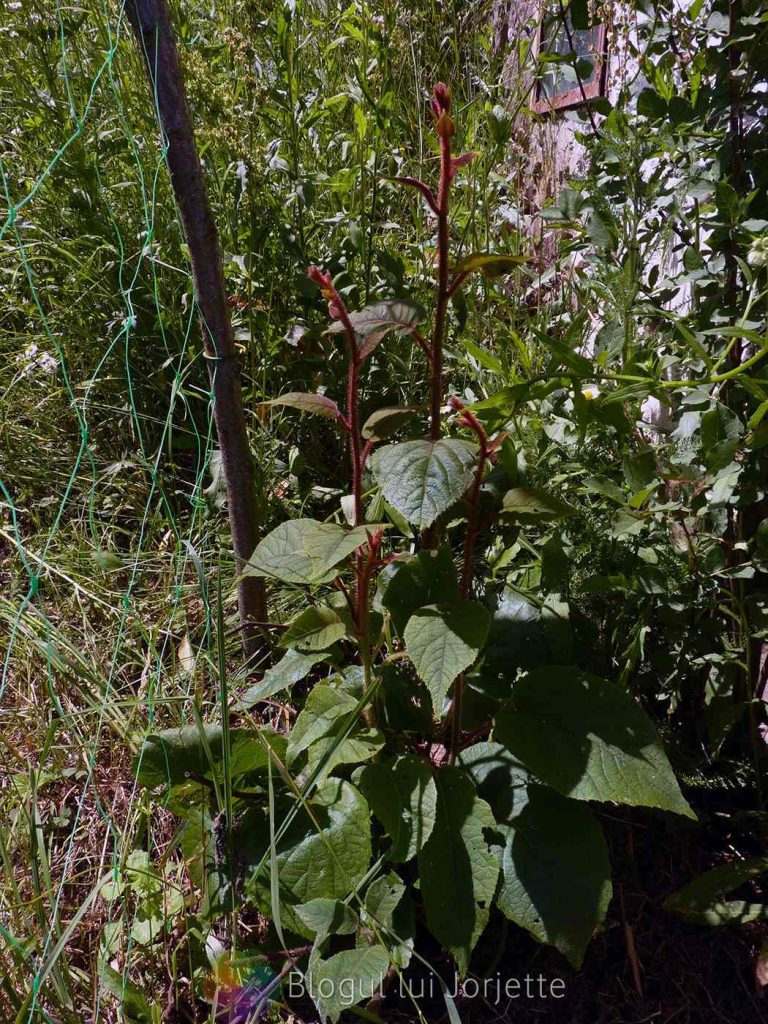 Planta de kiwi jenny, soi autofertil