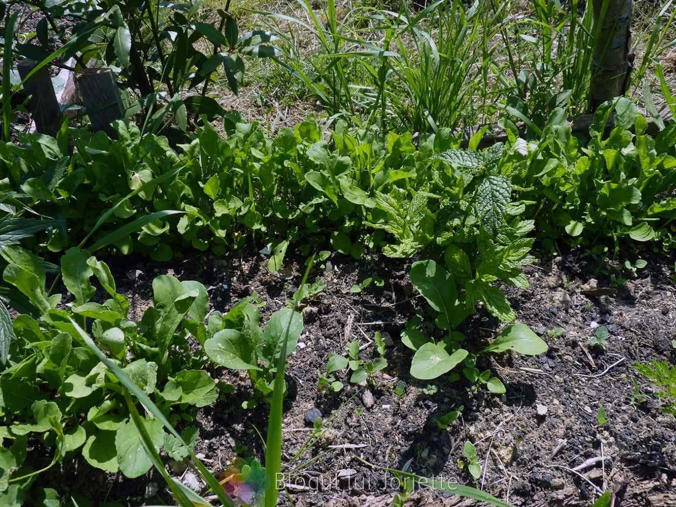 Rucola plantata in gradina - Frunze comestibile
