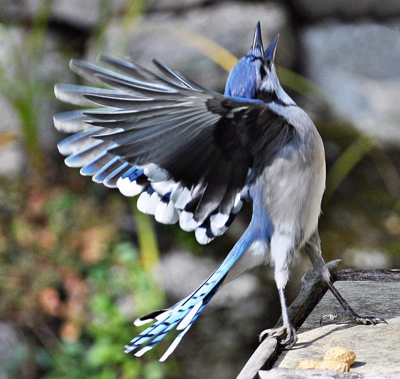 Gaita albastra pasare