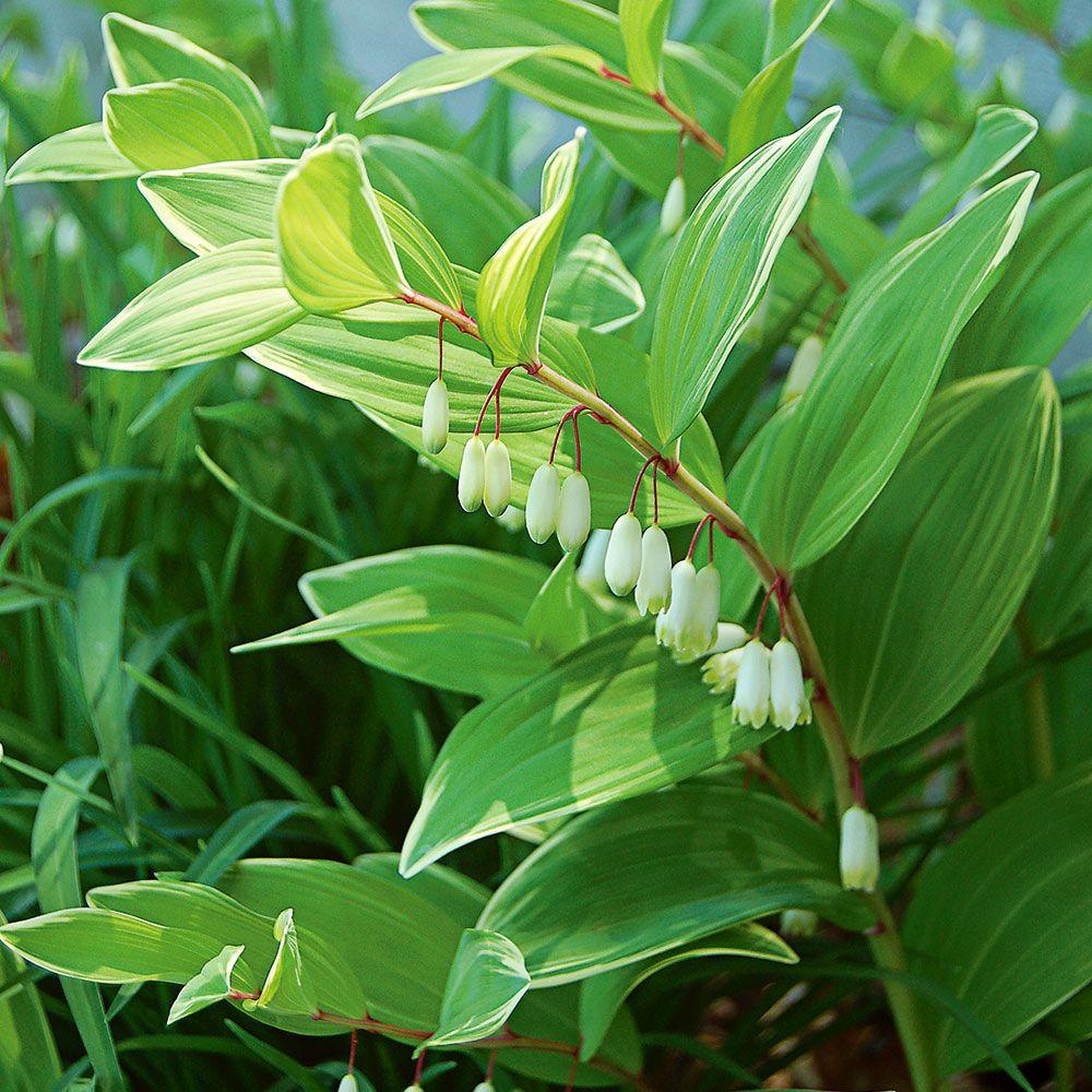 Pecetea lui solomon planta medicinala