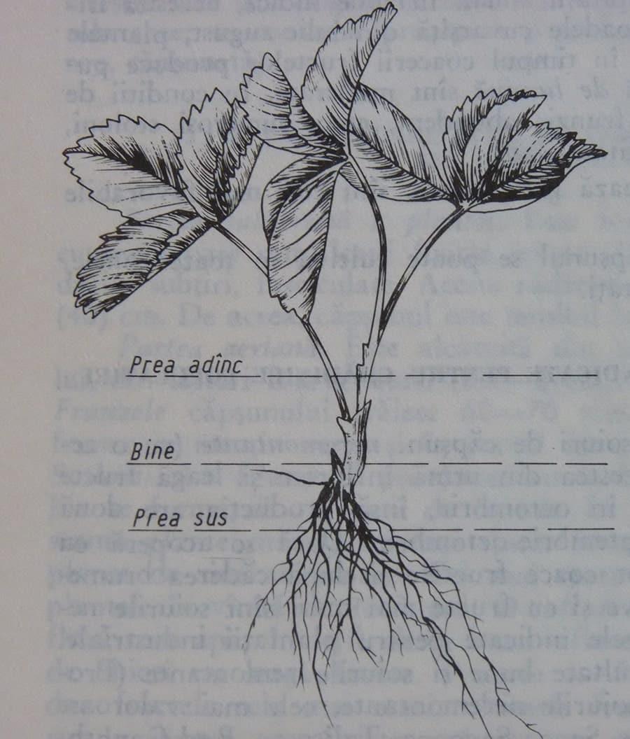 Plantarea capsunului in gradina cum se planteaza corect