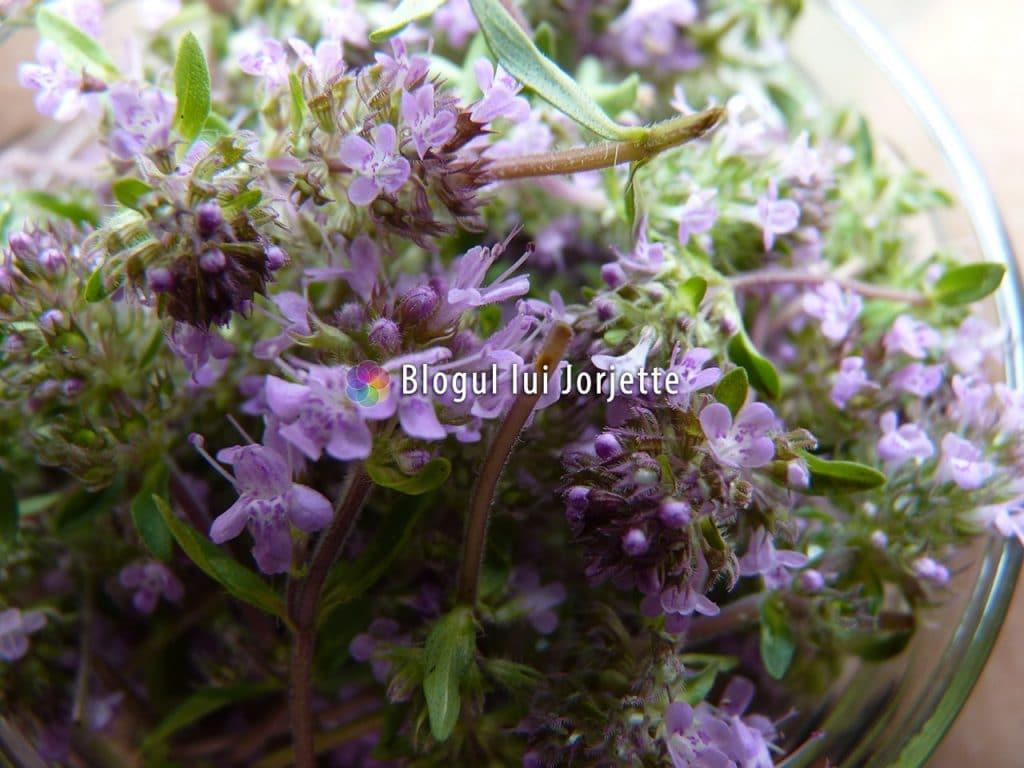 Flori de cimbrisor de camp