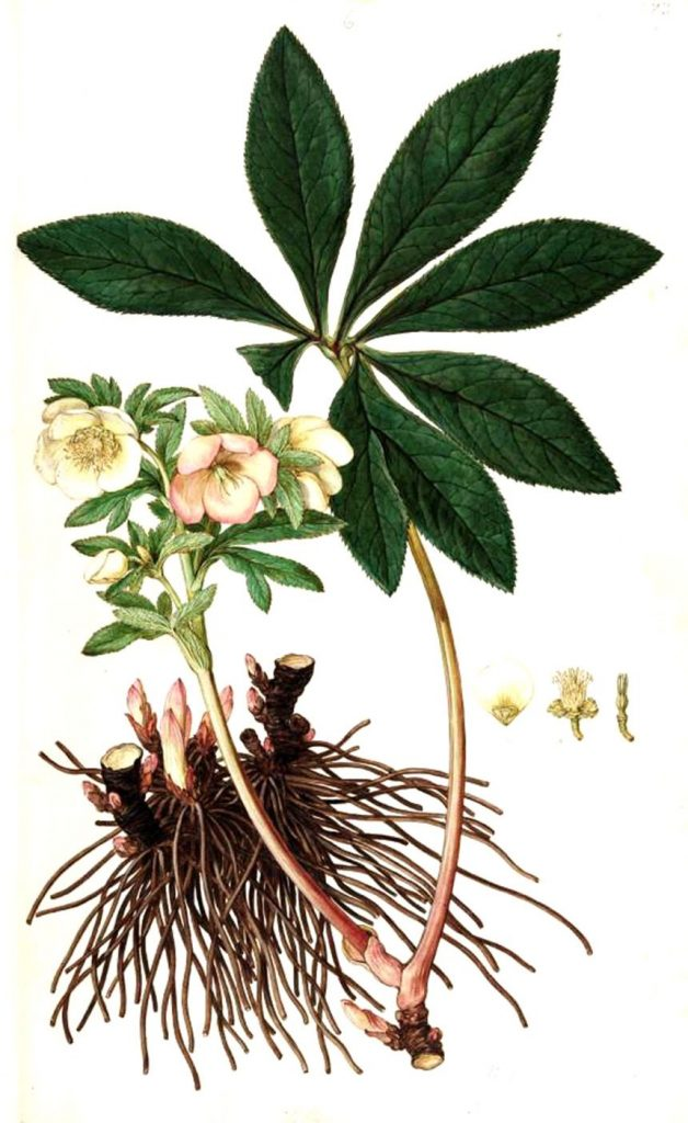 Helleborus purpurascens officinalis