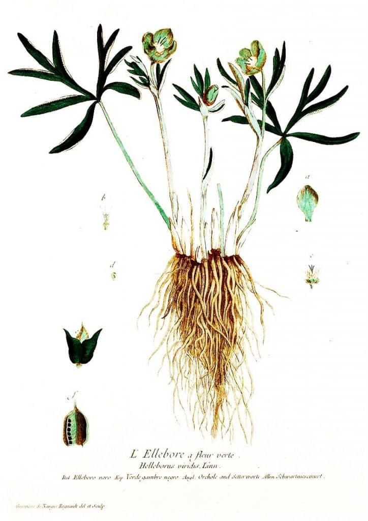 Planta helleborus purpurascens
