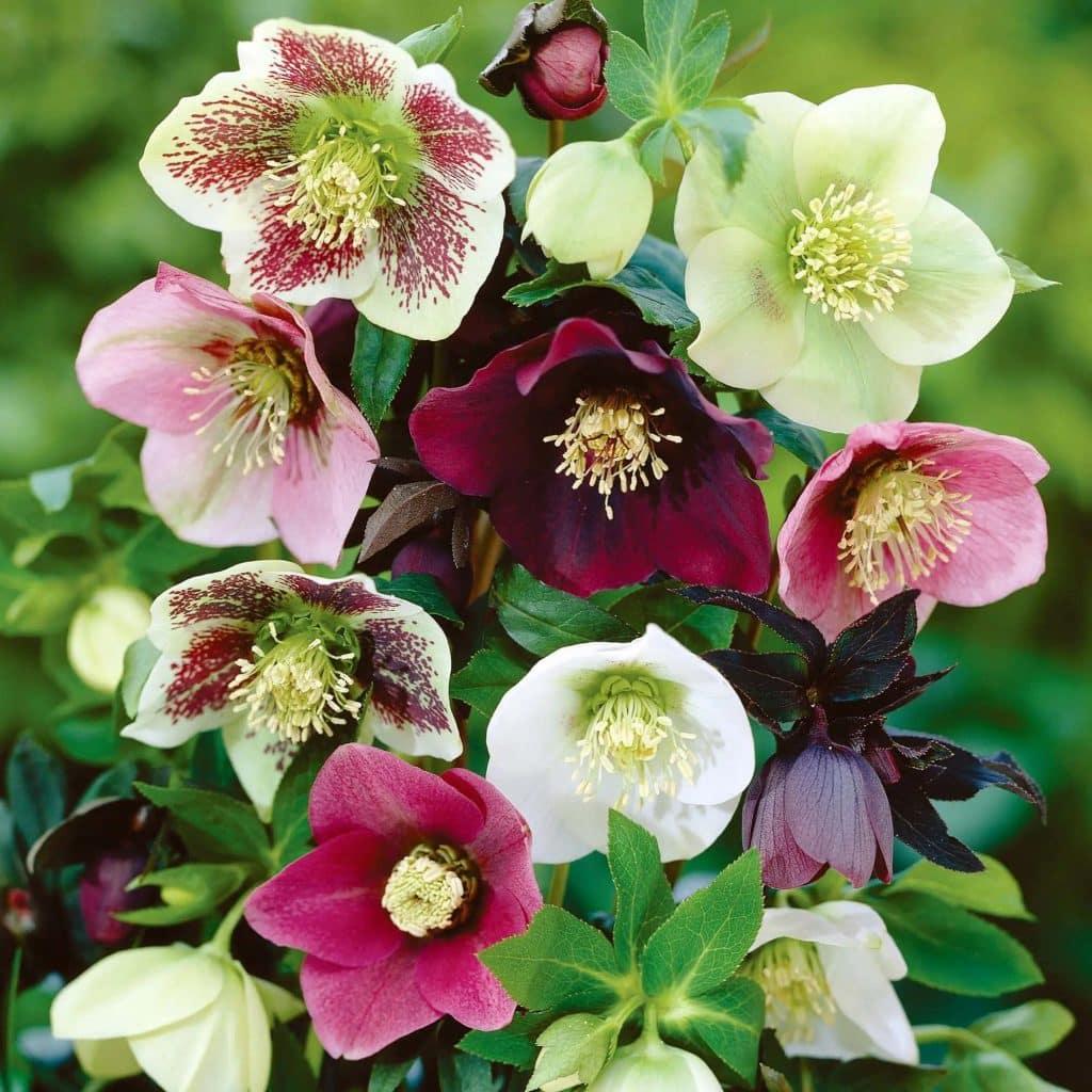 Specii de helleborus spanz flori