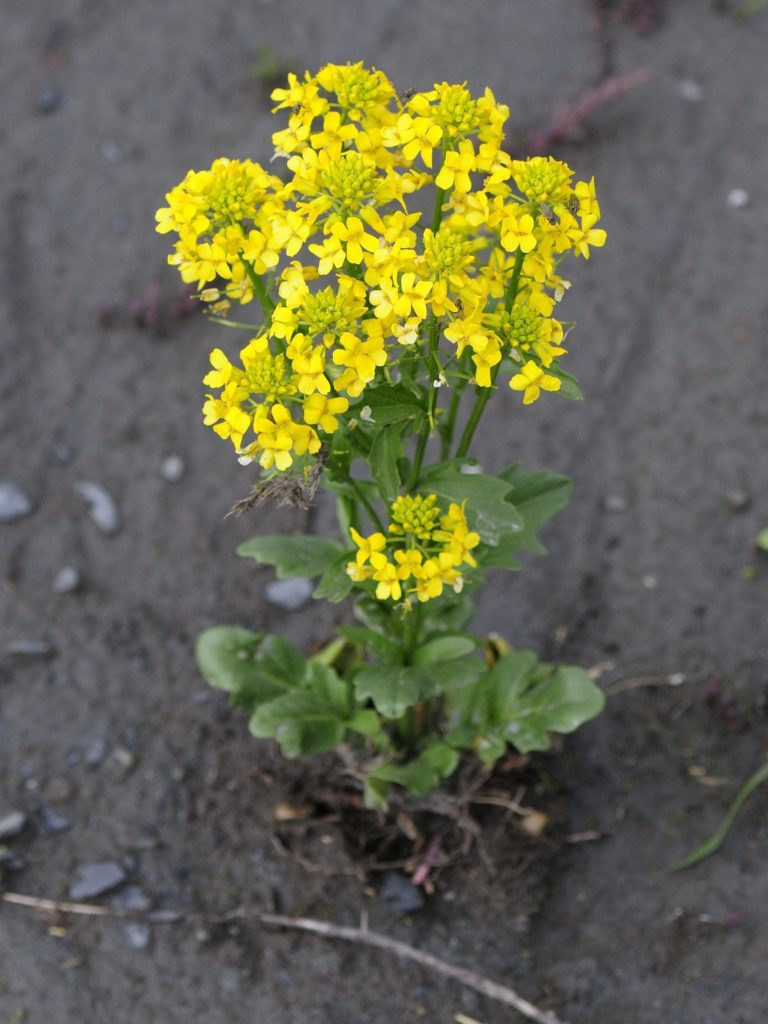 Brancuta galbena plante salbatice comestibile