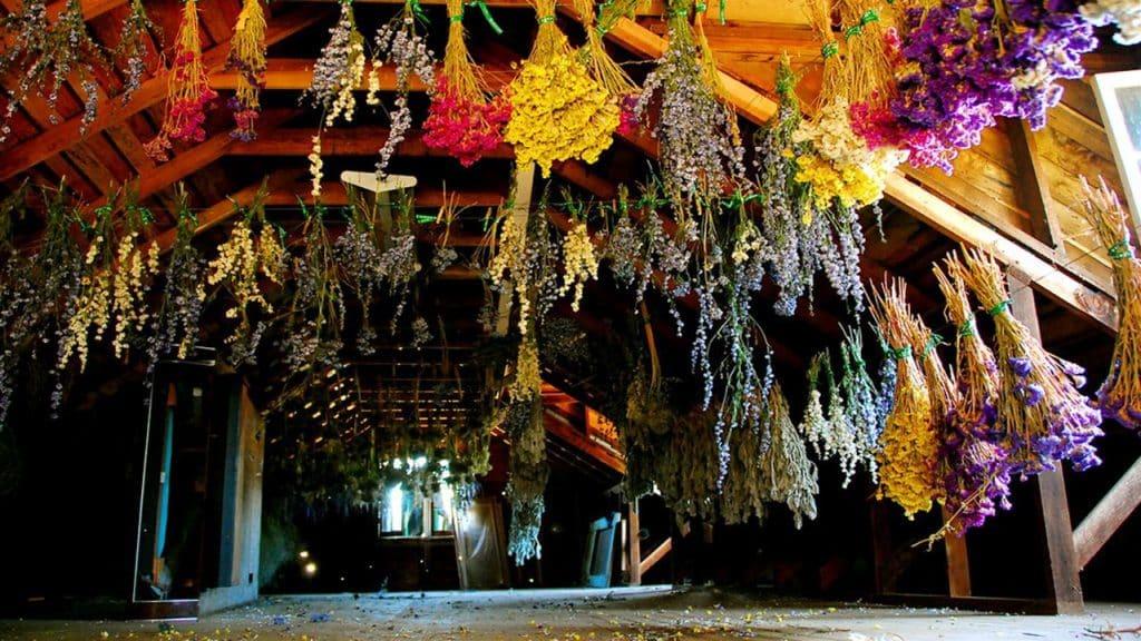 Uscarea plantelor medicinale agatate in smocuri sau legaturi