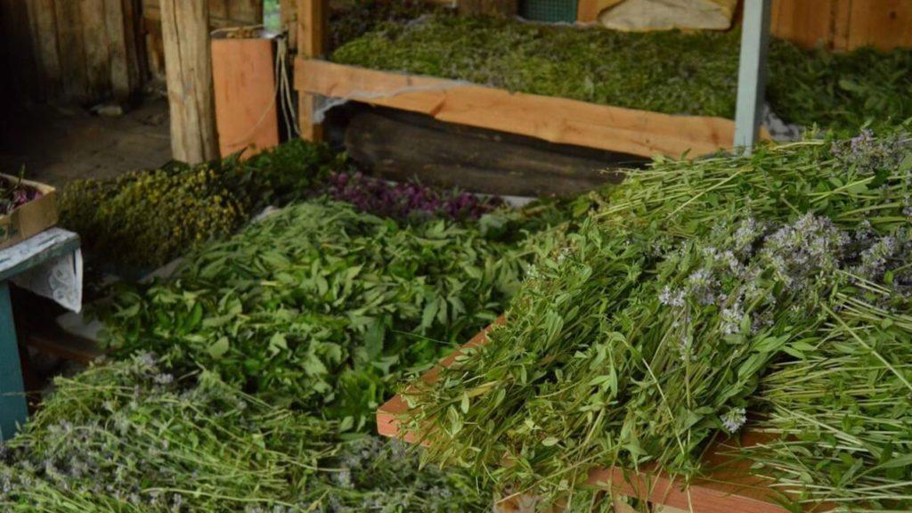 Uscarea plantelor medicinale in pod